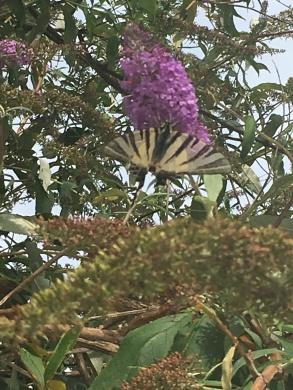 arbre à papilons